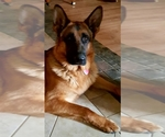 German Shepherd Dog Breeder in BEDFORD, IN, USA