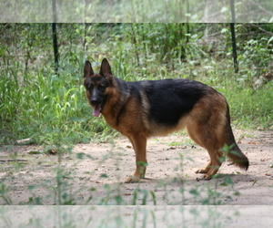 German Shepherd Dog Breeder in MALAGA, NJ, USA