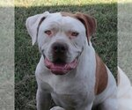 American Bulldog Breeder in NEVADA, MO, USA