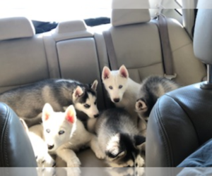 Siberian Husky Dog Breeder in JOPLIN,  USA