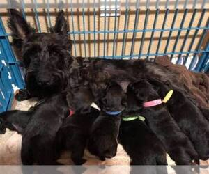 Main photo of Scottish Terrier Dog Breeder near RICHMOND, CA, USA