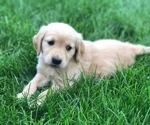 Golden Retriever Dog Breeder in SANFORD,  USA