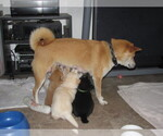 Shiba Inu Breeder in MISSOULA, MT, USA