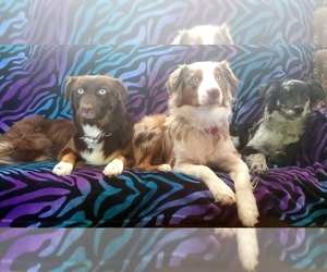 Main photo of Australian Shepherd Dog Breeder near MODESTO, CA, USA