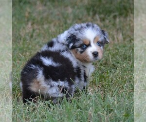 Australian Shepherd Dog Breeder near MEDFORD, OR, USA