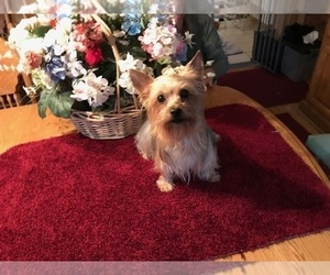 Yorkshire Terrier Dog Breeder in BURRILLVILLE,  USA
