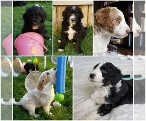 Bordoodle Dog Breeder in CALDWELL,  USA