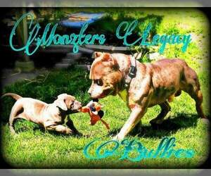 Main photo of American Bully Mikelands  Dog Breeder near MINNEAPOLIS, MN, USA