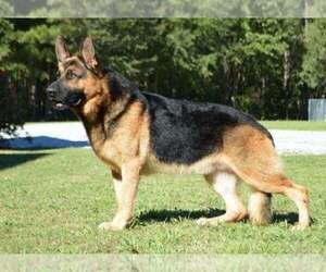 German Shepherd Dog Dog Breeder near OCALA, FL, USA