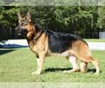 German Shepherd Dog Breeder in OCALA, FL, USA