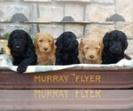 Labradoodle Breeder in ARVADA, CO, USA