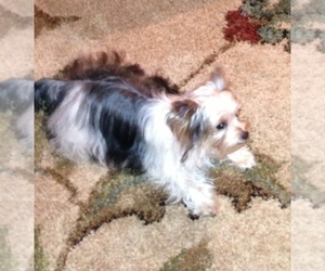 Yorkshire Terrier Breeder in LIVINGSTON, TX