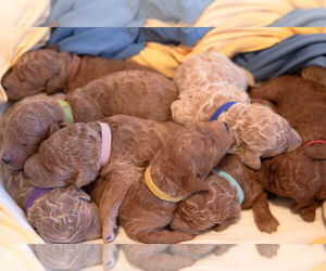 Australian Labradoodle Dog Breeder in ALBUQUERQUE,  USA