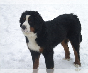 Main photo of Bernese Mountain Dog Dog Breeder near ENON, OH, USA