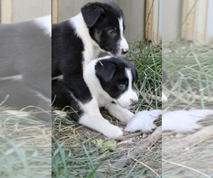 Border Collie Breeder in HELENA, MT