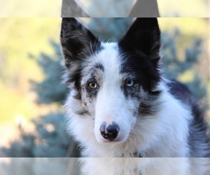 Border Collie Dog Breeder near MARIPOSA, CA, USA