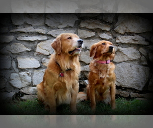 Golden Retriever Breeder in EL DORADO SPRINGS, MO, USA