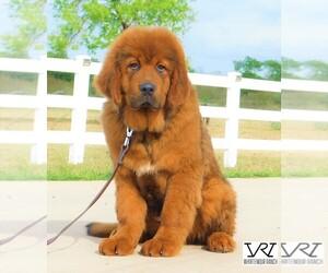 Tibetan Mastiff Dog Breeder in PLEASANTON,  USA