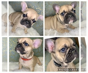 Main photo of French Bulldog Dog Breeder near CARSON, CA, USA