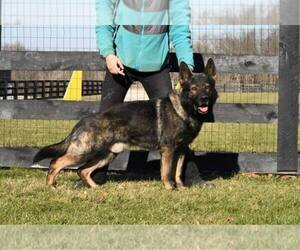 Main photo of German Shepherd Dog Dog Breeder near FREDERICKTOWN, OH, USA