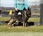 German Shepherd Dog Breeder in FREDERICKTOWN, OH, USA