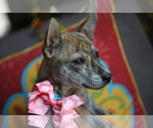 Main photo of Phu Quoc (Vietnam Island) Ridgeback Dog Breeder near PALMDALE, CA, USA