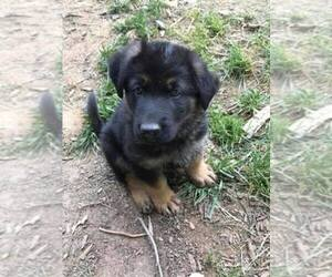 Main photo of German Shepherd Dog Dog Breeder near FALLSTON, MD, USA
