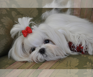 Main photo of Morkie Dog Breeder near BONHAM, TX, USA