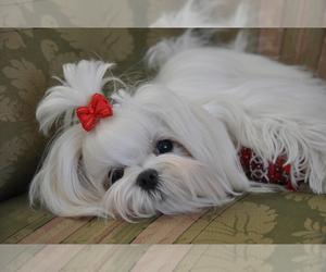 Main photo of Morkie Dog Breeder near BONHAM, TX, USA