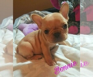 Main photo of French Bulldog Dog Breeder near BELLMAWR, NJ, USA