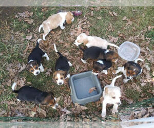 Main photo of Beagle Dog Breeder near TELFORD, TN, USA