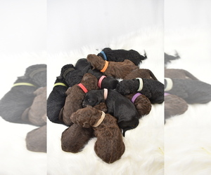 Main photo of Goldendoodle Dog Breeder near ANDERSON, CA, USA