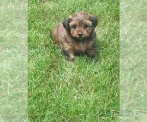Yorkshire Terrier Dog Breeder in SYRACUSE,  USA