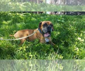 Boxer Breeder in LIVINGSTON, TN