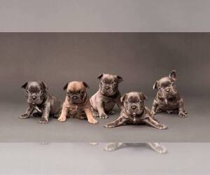 Main photo of French Bulldog Dog Breeder near BOCA RATON, FL, USA