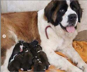 Main photo of Saint Bernard Dog Breeder near HILLMAN, MN, USA