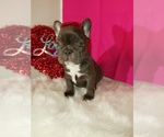 French Bulldog Breeder in SACRAMENTO, CA, USA