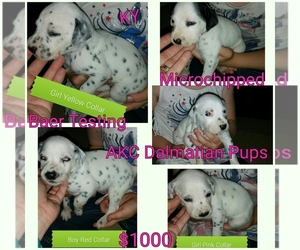 Dalmatian Breeder in LEWISBURG, KY, USA