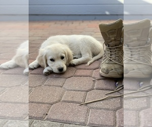 Main photo of Golden Retriever Dog Breeder near MESA, AZ, USA