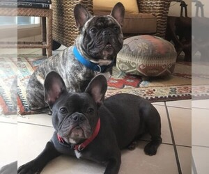 Main photo of French Bulldog Dog Breeder near METAIRIE, LA, USA