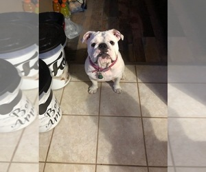 English Bulldog Dog Breeder near MIDDLEBURG, FL, USA