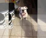 English Bulldog Breeder in MIDDLEBURG, FL, USA