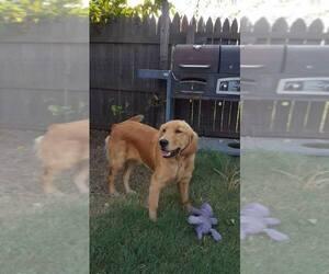 Golden Retriever Dog Breeder in BORGER,  USA
