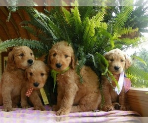 Main photo of Goldendoodle Dog Breeder near FORT PAYNE, AL, USA