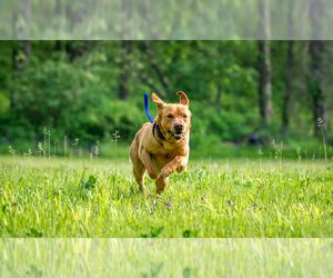 Labrador Retriever Dog Breeder in KEARNEY,  USA