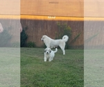 Great Pyrenees Breeder in LONDON, KY, USA