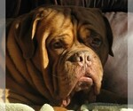 Dogue de Bordeaux Breeder in VINE GROVE, KY, USA