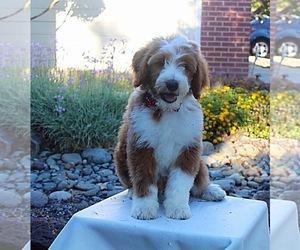 Goldendoodle-Poodle (Miniature) Mix Dog Breeder in ELK GROVE,  USA