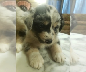 Main photo of Australian Shepherd Dog Breeder near HANOVER, AR, USA