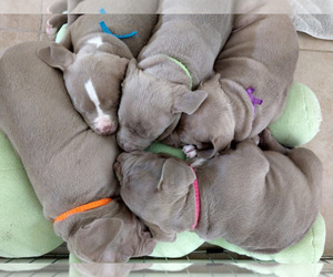 Main photo of American Bully Dog Breeder near PORT SAINT LUCIE, FL, USA